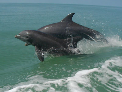 Bottlenose mother and  calf