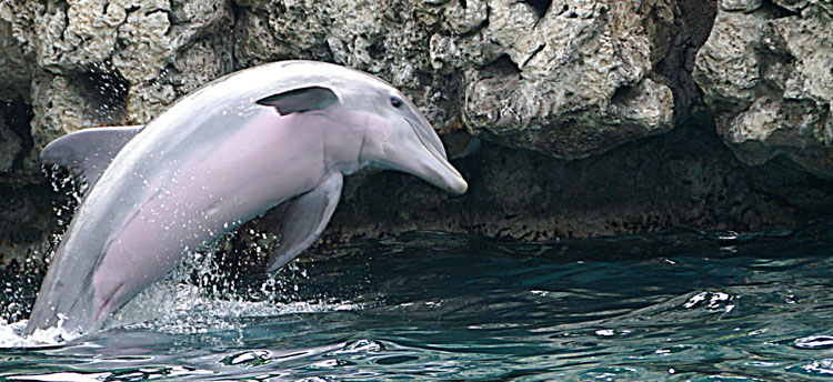 Pictures Of Dolphins At Dolphinkind Com